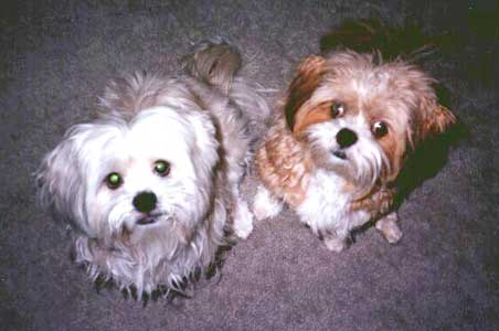 personal growth pets lhasa apso dogs